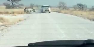 El rinoceronte se calentó y atacó a un automovilista