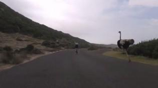 Un avestruz persiguió a dos ciclistas a 50 km/h