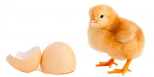 La ciencia resolvió el misterio del huevo y la gallina