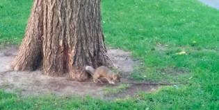 Una ardilla encontró una rama y enloqueció