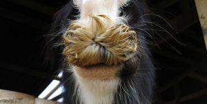 Lo prueba la ciencia: una raza de caballos tiene bigotes