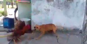 Una pelea a muerte entre un gallo y un perro