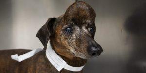 Una perra con cáncer sobrevivió gracias a una impresión 3D