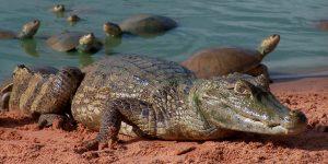 Está chequeado: un cocodrilo puede hacer un salto vertical