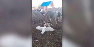 Pelea a muerte entre un ganso y una vaca